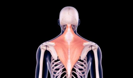 Barbell Row - trapezius muscles