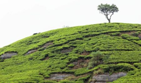 Best Green Tea Brand - Green Tea for Health